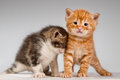 Two funny little red hair kittens playful playing with each other Stock Photo