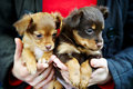 Two funny puppy Toy Terrier