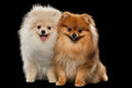 Two Furry White Red Pomeranian Spitz Dogs Sitting, Smiling isolated Royalty Free Stock Photo