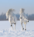 Two galloping snow-white horses Stock Photos