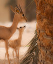 Two gazelle a mother and her offspring Royalty Free Stock Images