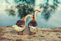 Two geese on the lake Royalty Free Stock Photo