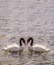 Two geese love in Royalty Free Stock Photo