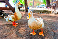 Two geese rest in the shade derever Stock Photo
