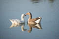 Two geese in the river Royalty Free Stock Photo