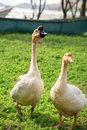 Two geese Royalty Free Stock Photo
