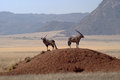 Two gemsbuck antelope in namib desert oryx gazella namibia southern africa Stock Photos