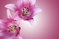 Two gentle pink lilies on a background Royalty Free Stock Photo