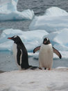 Two gentoo penguins on ice at seashore with floe in background antarctica Stock Images