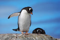 Two gentoo penguins on a rock close up of one seems speaking to the other Royalty Free Stock Photos