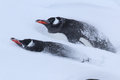 Two gentoo penguins in the snow during a snowfall Stock Photography