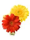 Two Gerber Flowers