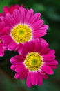 Two Gerbera Daisies Stock Images