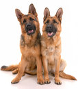 Two german shepherd dogs Royalty Free Stock Photography