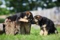 Two german shepherd puppies having fun Royalty Free Stock Photo