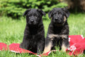 Two german shepherd puppies sitting side by side on red blanket Royalty Free Stock Photography