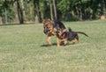 Two German Shepherd Running Through the Grass.