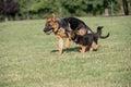 Two German Shepherd Running Through the Grass