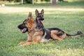 Two German Shepherd sitting on the green grass