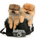 Two German Spitz Royalty Free Stock Photos