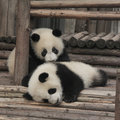Two giant panda cubs playing Royalty Free Stock Photo