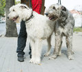 Two giant schnauzer dogs white and black Royalty Free Stock Photo