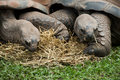 Two giant turtles this photograph features eating a dinner of roughage Royalty Free Stock Photography