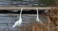 Two giants white herons fighting lake Royalty Free Stock Image