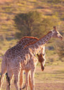 Two giraffe (Giraffa camelopardalis) Stock Image