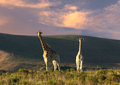 Two giraffe in open field a surreal image of standing an Royalty Free Stock Photo