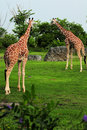Two Giraffes Royalty Free Stock Photo