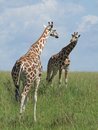 Two giraffes in african savannah rothschild looking on each other uganda africa Royalty Free Stock Photos