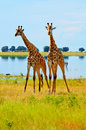 Two Giraffes in Botswana Royalty Free Stock Photo