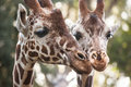 Two giraffes close up lose shoot of a pair of Royalty Free Stock Images