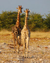 Two Giraffes in Etosha Royalty Free Stock Images