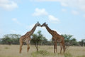 Two giraffes kissing Royalty Free Stock Photo