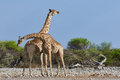 Two giraffes in the savannah Royalty Free Stock Photo
