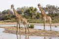 Two giraffes side by side Royalty Free Stock Photo