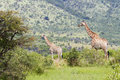 Two giraffes in thorn bush Stock Image