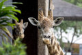 Two giraffes on the zoo Royalty Free Stock Images