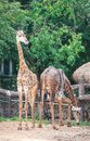 Two giraffes in the zoo Royalty Free Stock Photo