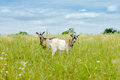 Two goats eating grass on green meadow Stock Photos