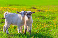 Two goats on a green lawn at summer Stock Photography