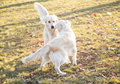 Two golden retrievers playing outdoor on the grass Royalty Free Stock Photography