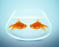 Two goldfish  falling in love Stock Photography