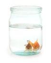 Two goldfish in jar. Royalty Free Stock Photo