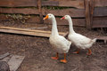Two goose attentive on a farm Royalty Free Stock Images