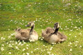 Two goslings in the summer sunshine sitting ont grass Royalty Free Stock Photo