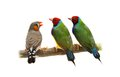 Two gouldian and zebra finches on white isolated background Royalty Free Stock Photography