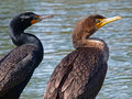 Two Grand Cormorants Royalty Free Stock Image